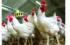 Πετυχημένα παραδείγματα στην πτηνοτροφία και λύσεις βελτίωσης των αποδόσεων